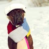 Inteligentny psi trakenu bokser siedzi w kapeluszu i szaliku zdjęcia royalty free
