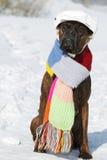Inteligentny psi trakenu bokser siedzi w kapeluszu i szaliku w s zdjęcia royalty free