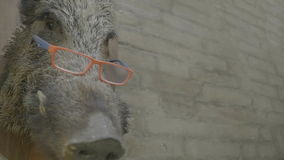 Intellectual swine background. Medium wide close up handheld low angle high dynamic range shallow depth of field shot of the head of a swine wearing glasses stock footage