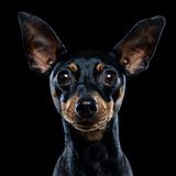 Intelligent black dog Royalty Free Stock Image