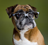 Intelligent boxer dog Stock Photos