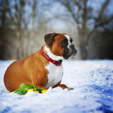 Intelligent dog breeds red boxer lies in winter on snow with flo. Wers tulips. The concept of the idle spring Stock Image