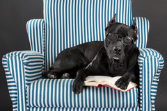 Intelligent dog in glasses reads a book Royalty Free Stock Photo
