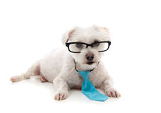 Intelligent dog looking intently ahead. A white maltese terrier wearing black rim glasses lying down and looking ahead.  Wearing a small blue tie around the neck Stock Photo