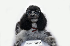 Intelligent dog Royalty Free Stock Images
