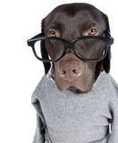 intelligent labrador för choklad se Royaltyfria Foton
