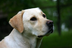 Intelligent Look. Labrador retriever outdoor portrait Royalty Free Stock Images