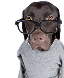 Intelligent Looking Chocolate Labrador Royalty Free Stock Photos