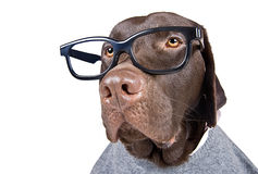Intelligent Looking Chocolate Labrador Stock Photos