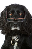 Intelligent Looking Cocker Spaniel with Glasses. Shot of an Intelligent Looking Cocker Spaniel with Glasses Royalty Free Stock Image