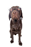 Intelligent Looking Dog Stock Image