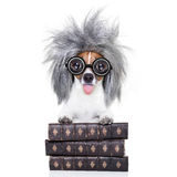 Intelligent smart  dog with books. Smart and intelligent jack russell dog with nerd glasses sticking out the tongue wearing a grey hair wig on a book stack Stock Photos