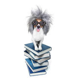 Intelligent smart  dog with books. Smart and intelligent jack russell dog with nerd glasses sticking out the tongue wearing a grey hair wig on a book stack Stock Images