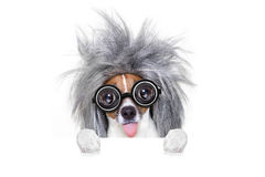 Intelligent smart  dog with an idea. Smart and intelligent jack russell dog with nerd glasses  wearing a grey hair  behind banner or placard, isolated on white Stock Photos