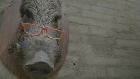 Intelligent Wild Hog background. Medium wide close up handheld low angle high dynamic range shallow depth of field shot of the head of a hog wearing eyeglasses stock video footage