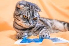 Intelligente Katze der schottischen Falte, die in einem Smartphone spielt stockfotos