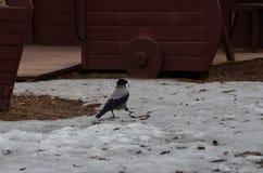 Intelligente Krähe, die ein Nest errichtet stockfotos