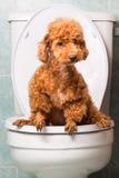 Intelligenter brauner Pudelhund, der in Toilettenschüssel pooping ist Stockfotografie