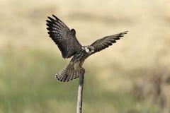 Intelligenter Falke verbreitete Flügel auf Stumpf in der Natur Stockbild