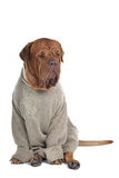 Intelligenter Hund in einer Strickjacke Lizenzfreies Stockbild