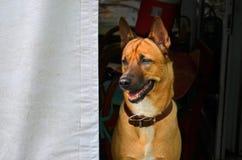 Intelligenter Hund Lugens von der Dunkelkammer Stockfotografie
