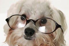 Intelligenter Hund mit Gläsern Stockfotos