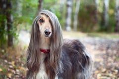 Intelligenter Hundeafghane mit idealen Daten steht im Herbstwald und untersucht die Kamera Stockfoto