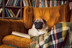 Intelligenter Lesehund Pug liegt bequem auf dem Stuhl in der Bibliothek lizenzfreie stockbilder