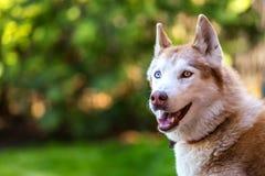 Intelligenter Schlittenhund, der ihren Meister aufpasst Stockfotos