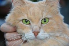 Intelligentes schönes Sitzen der rothaarigen Katze auf Händen und Schauen nahes hohes Stockfotos