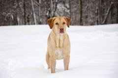 Intens geel Labrador Stock Afbeelding