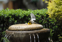 Intense Bird Bath Royalty Free Stock Photos