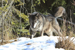 Intense black wolf Royalty Free Stock Photography