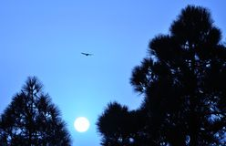 Intense blue sky at dawn with sun among pines and bird flying. Image with color effect royalty free stock photos