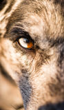 Intense Canine Dog Wolf Animal Eye Pupil Unique Color Stock Photos