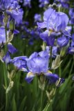 Close-up of two purple irises. stock photography