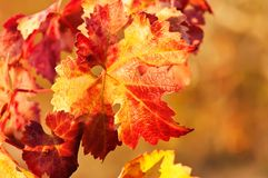 Intense colors of Autumn in the leaves of the vine stock photography