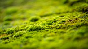 Green moss on forest tree. Intense couloured green moss on a forest tree on a wet morning Stock Image