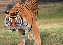 Intense de tijger staart 2 Royalty-vrije Stock Afbeeldingen