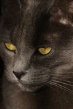 Intense eyes. Dark grey cat with yellow eyes Royalty Free Stock Photos