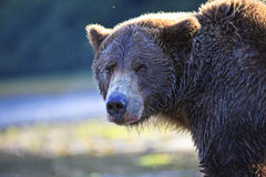 Intense eyes of a brown bear Royalty Free Stock Photography