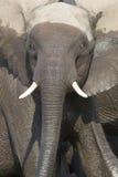 Intense eyes of charging bull elephant Stock Photography