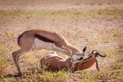 Intense fighting over territory between rams. Intense fight between two adult Springbok rams over territory in the dry desert royalty free stock photo