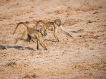 Intense Focus... Baboon twins on a mission....focussing on some food Stock Photography