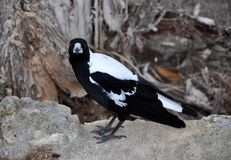 Intense Gaze: Australian Magpie stock photos