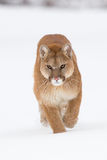 Intense look of mountain lion portrait. In snow Stock Photo
