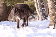 An intense look of wolf hunting in the snow Stock Photos