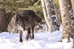 Intense looking black timber wolf hunting Stock Photography
