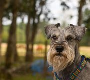 Intense looking miniature schnauzer dog. Posed outdoors in front of a rural background stock photo