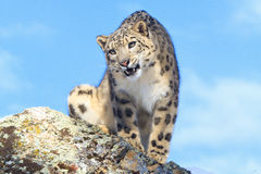 Intense stare down. Snow leopard looking over the edge of a rocky ledge Stock Photos